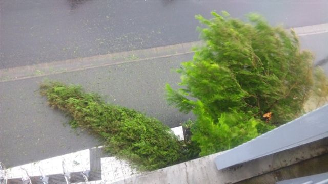 台風15号事務所前メタセコイヤ倒木被害3.jpg