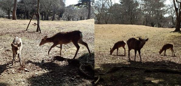 奈良公園しか.jpg