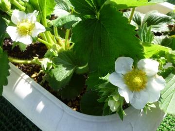 イチゴの開花宣言