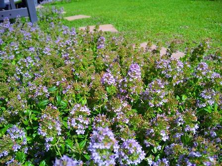 ロンギカウリスの花を刈り込みました1