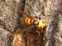 クヌギのスズメバチ