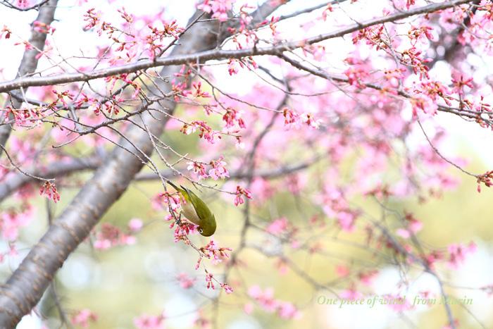春色メジロ1