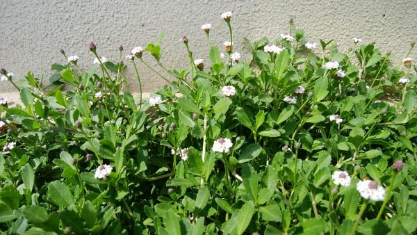 イワダレソウの花