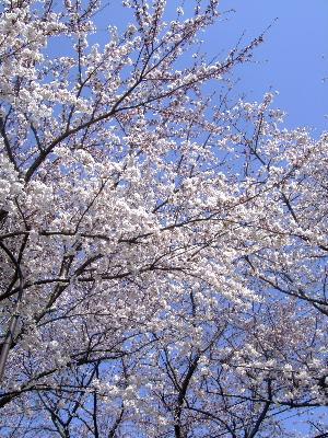 2012桜祭り1.JPG