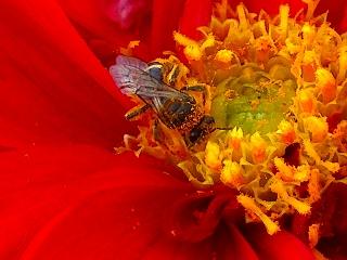 蜜蜂とダリア