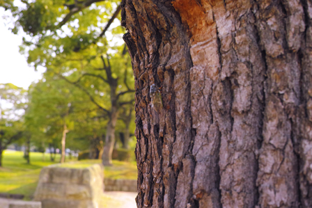 城見台公園のセミ.jpg