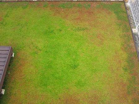 クラピアの11月の定点観測画像2