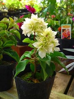 八重咲きブーゲンビレア