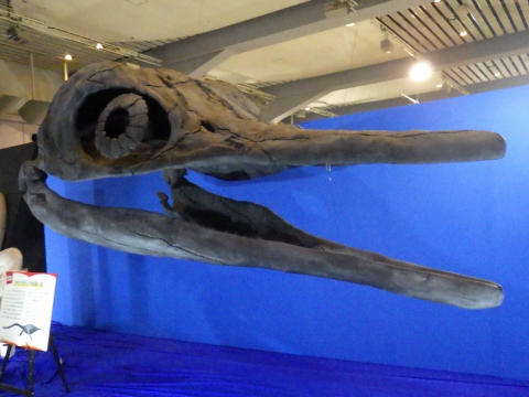 メガ恐竜展2017巨大化の謎にせまる10 ショニサウルスの頭骨