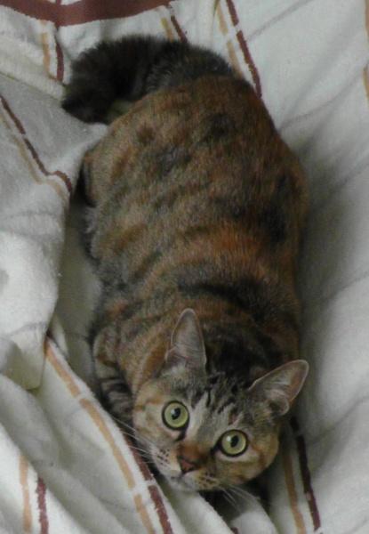 猫の臨戦態勢 身構えるネコ しっぽが膨らんでいる