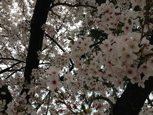 1桜4月3日5003.jpg