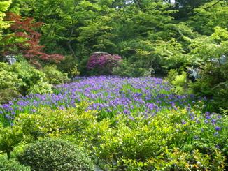 庭園燕子花
