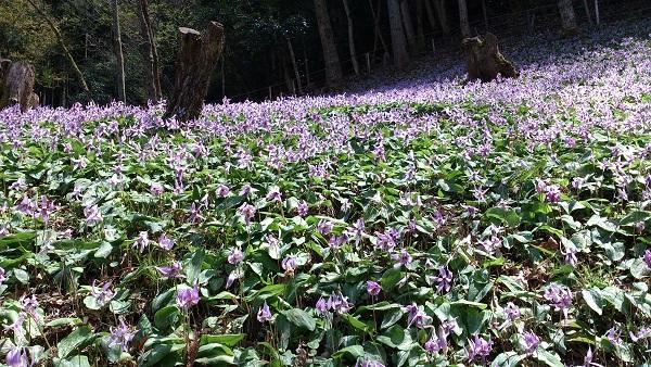 2013年4月  カタクリの花.jpg