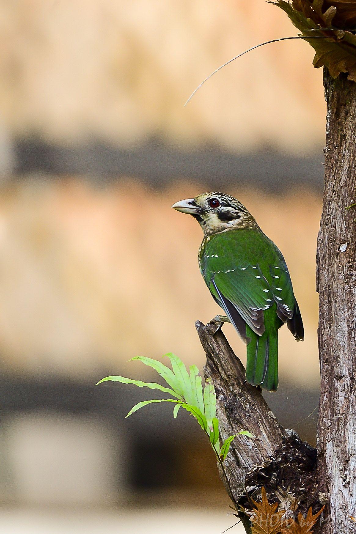 オーストラリア ケアンズ探鳥写...