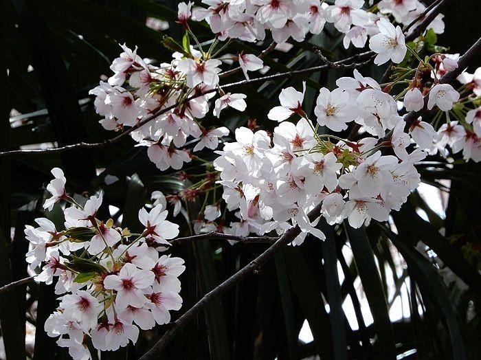 並木の桜3