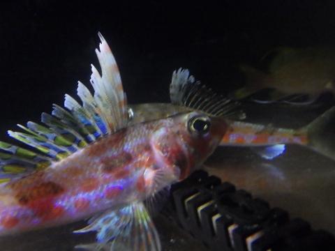 ハタタテヒメ(Hime sp.)18 オスの伸長する背鰭の第2~4軟条 バラハナダイとの混泳
