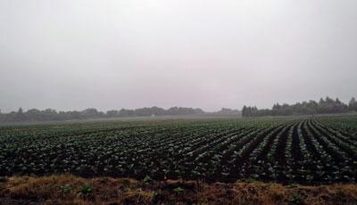 キャベツ畑2016.6.9