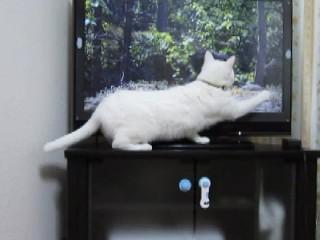 TVの中の猫にちょっかいを出す.jpg
