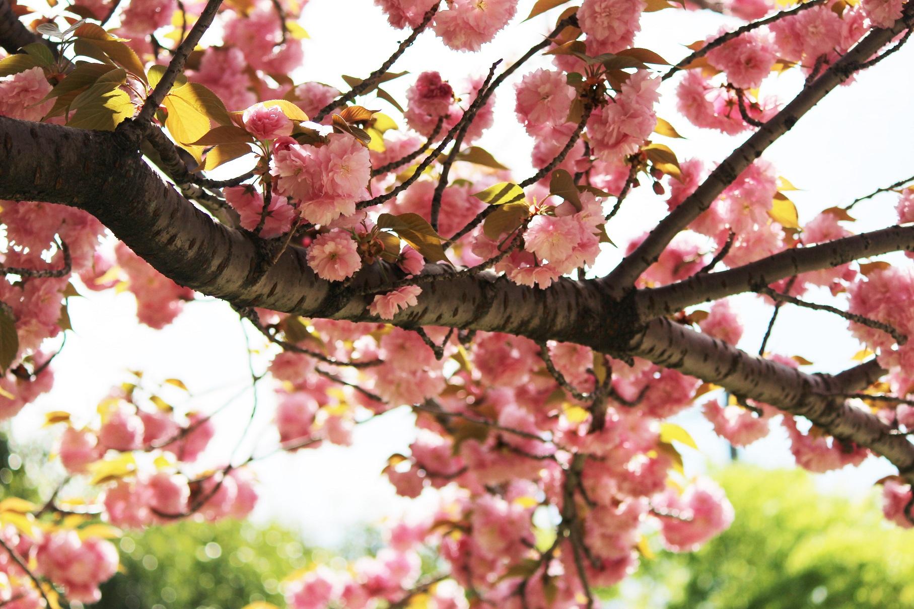 公園の八重桜3