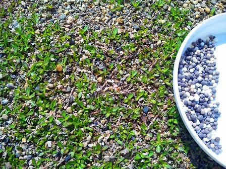 クラピアに新しい肥料5
