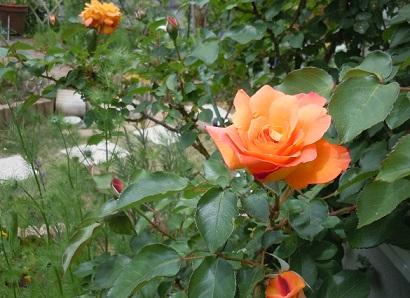 2013年5月10日 アンネの薔薇.jpg