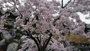 00_桜.jpg