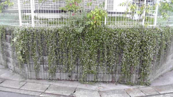 擁壁に垂れたイワダレソウの伸長と開花