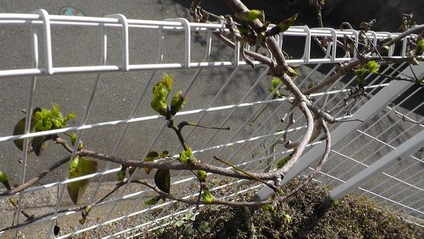 ほとんど枯れたムベにも芽が出ている