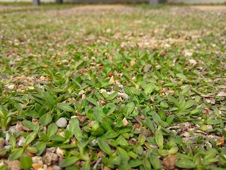 少しずつ緑になってきたクラピアの庭2