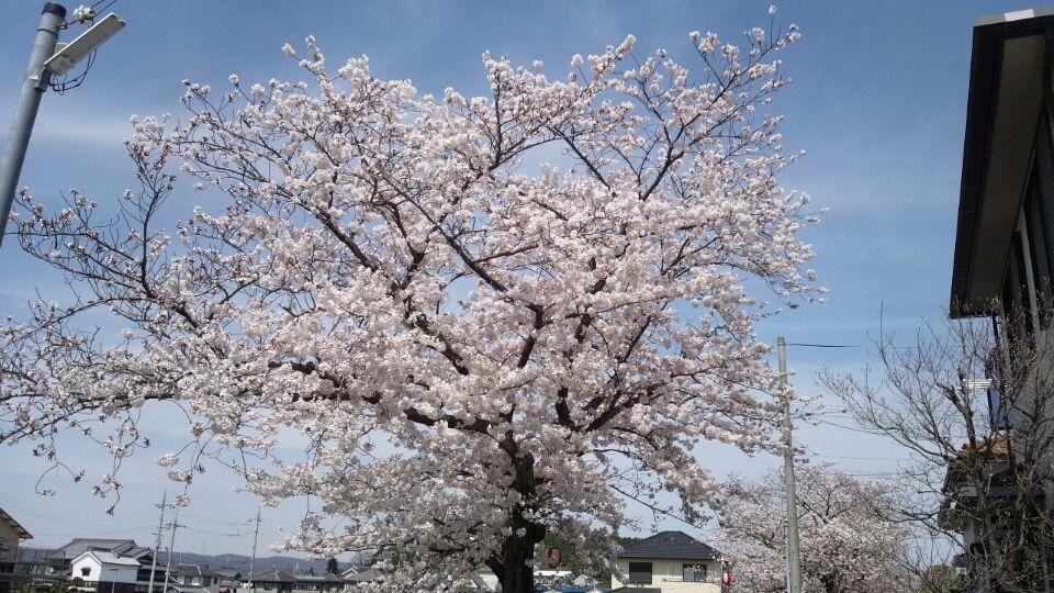 0401 五位堂桜