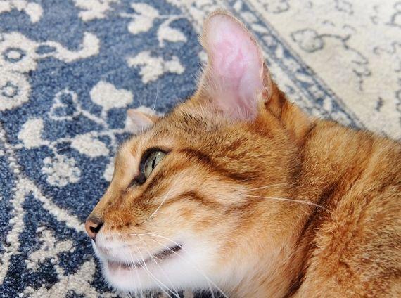 猫の病気 耳血腫(じけっしゅ) 耳 腫れ 水ぶくれ