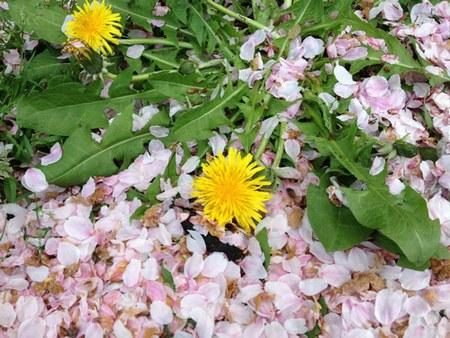 2枝垂れ桜タンポポ2450.jpg