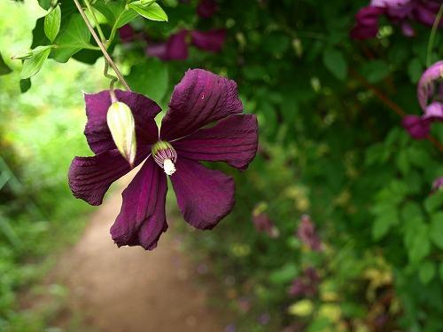 2012紫竹・クレマチス赤紫.jpg