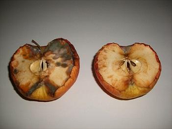 りんご抗酸化実験