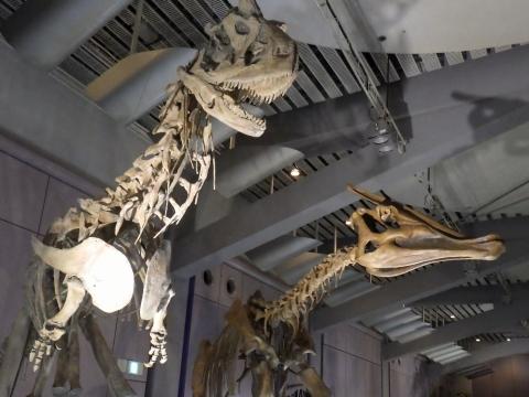 恐竜展2017巨大化の謎にせまる26 カルノタウルスとサウロロフスの全身骨格