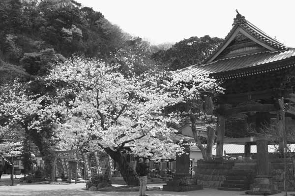 05_sakura_koumyouji3.jpg