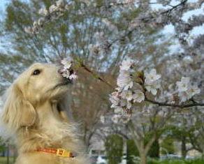 あのん&桜1