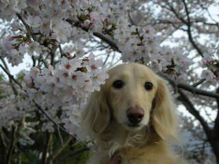 あのん&桜2