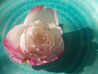 青い器に浮かべた山茶花