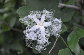 からすうりの花.jpg