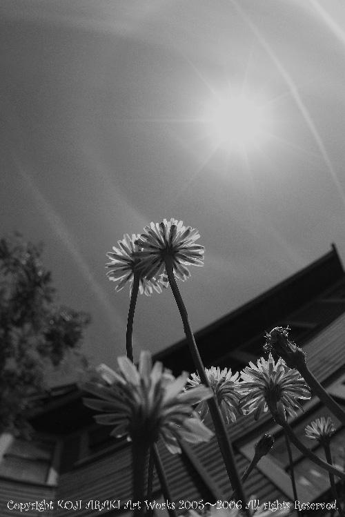 太陽タンポポ壁紙002