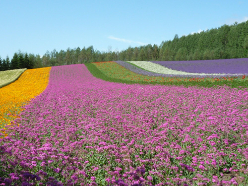 ファーム富田の花畑