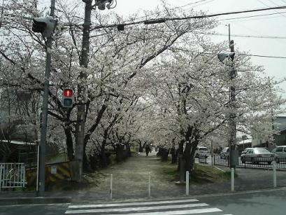 50妙見桜入口.JPG