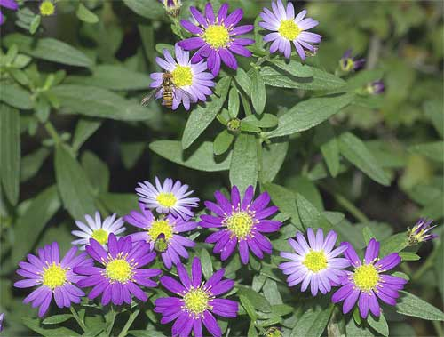 北米原産シオンの1種(紫花)2