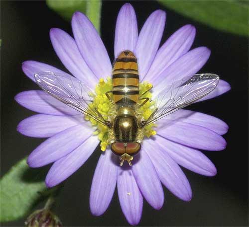 北米原産シオンの1種(紫花)3