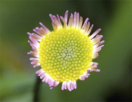 ペラペラヨメナの花2