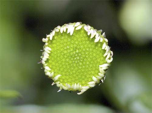 ペラペラヨメナの花1