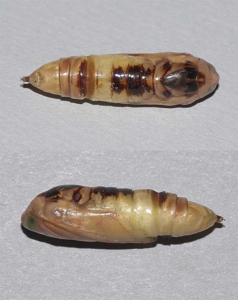 エゾギクキンウワバの蛹