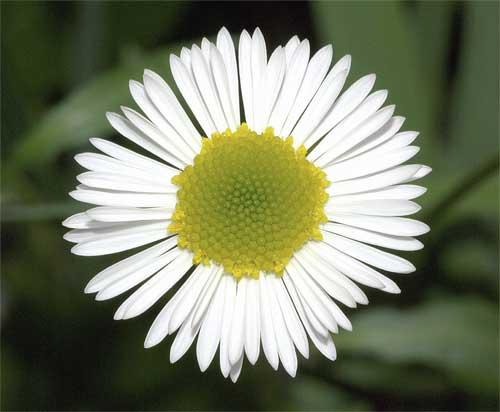 ペラペラヨメナの花3