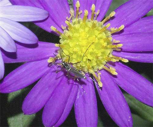 北米原産シオンの1種(紫花)5